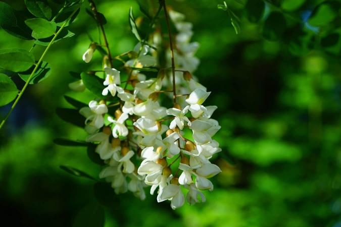 Acidulées, les fleurs d'acacias s'utilisent de plusieurs façon