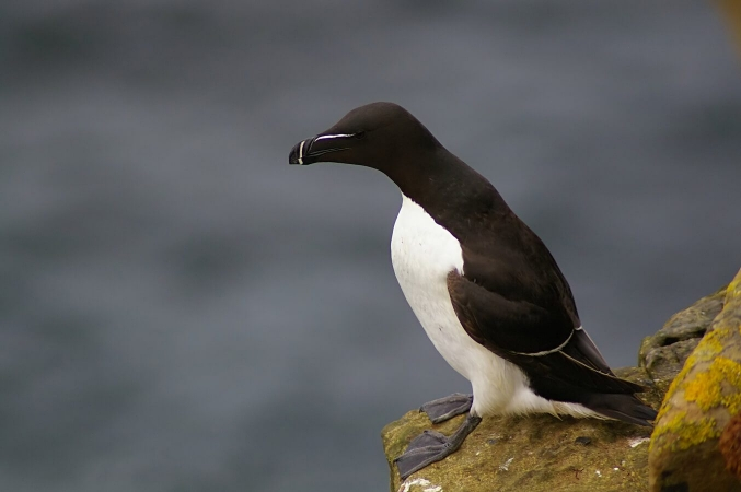 Alca torda - Pingouin torda