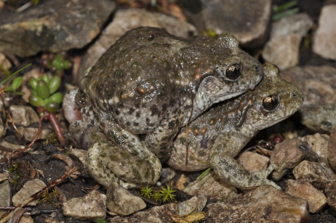 Amplexus  lombaire d'alyte accoucheur (Alytes obstetricans)