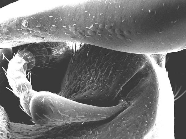 Antenne et certaines écailles de Pachyrrhynchus en vue microscope