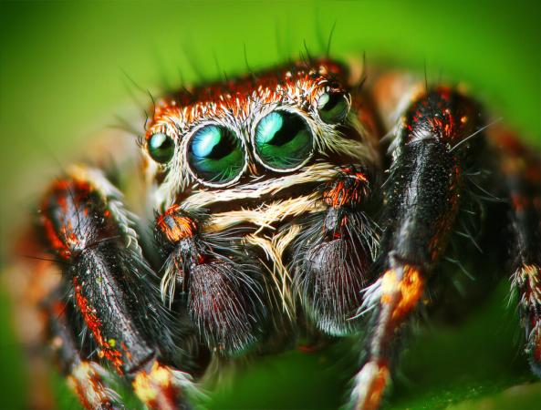 L'araignée sauteuse possède quatre yeux, deux centraux qui ont une acuité élevée et repèrent la proie, et deux latéraux pour balayer autour.