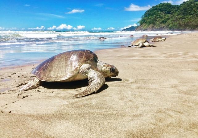 Arribada sur la plage de Corozalito