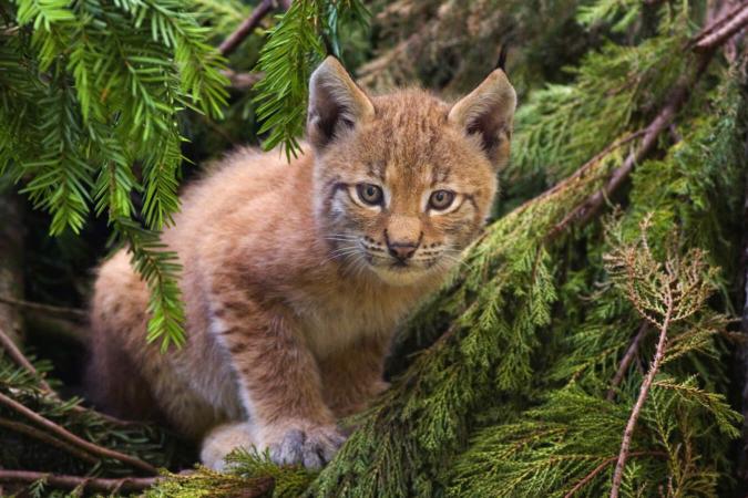 Au moins 16 jeunes lynx sont nés depuis 2017!