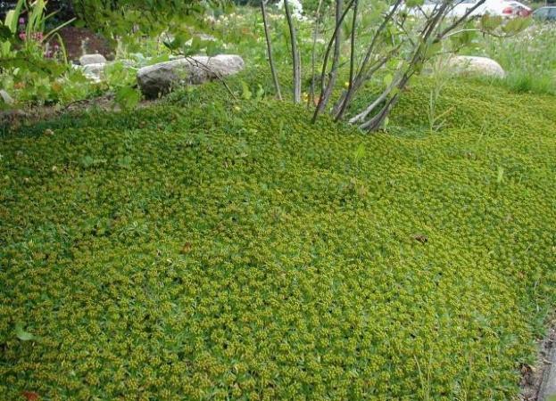 Azorella trifurcata - Azorella trifurcata