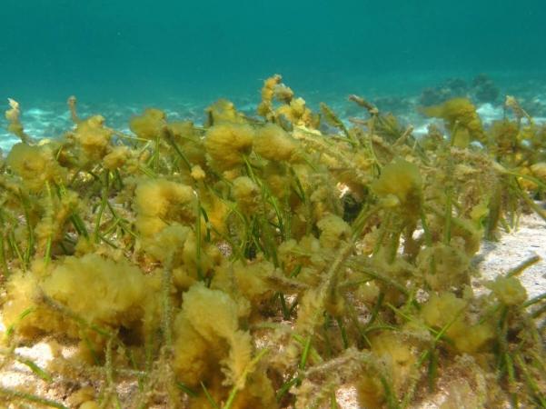Bloom de diatomées à la réunion