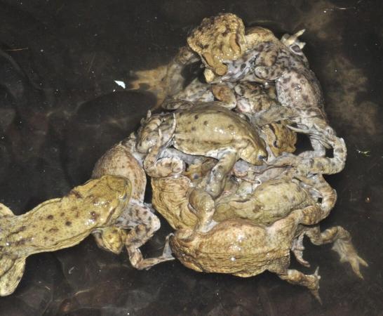 Boule de crapauds  communs males sur une seule femelle