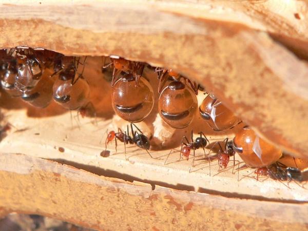 Certaines fourmis sont tellement spécialisées dans la consommation de sucre que certaines d'entre-elles deviennent de véritables garde-manger vivants