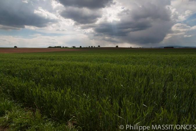Champs favorables à la présence de grand hamste en Alsace