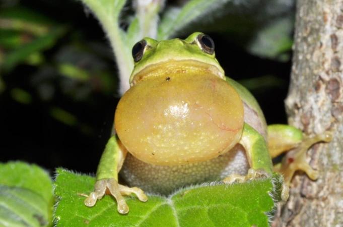 Chant d'une rainette verte (Hyla arborea)