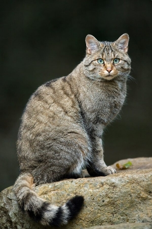 Chat forestier felis silvestris