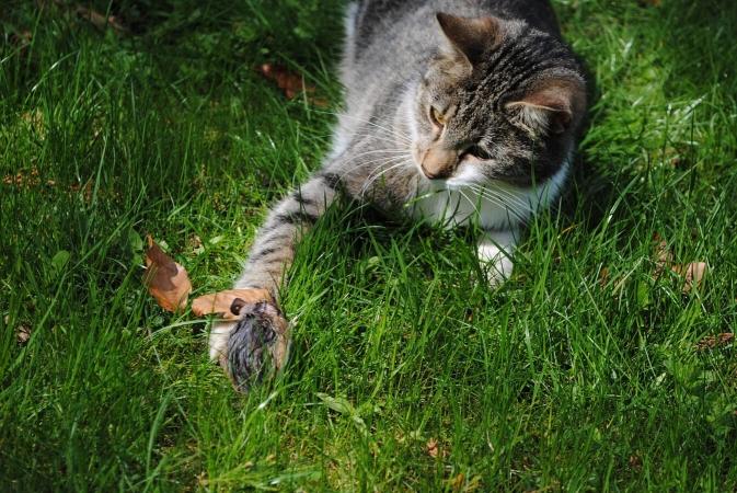 Les chats sont certes adorables, mais ils sont avant tout de redoutables prédateurs