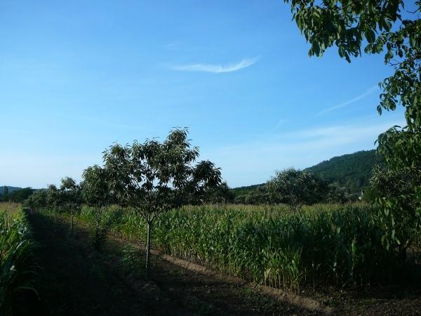Châtaigners et maïs - En plein champ en Dordogne, association sur plusieurs hectares