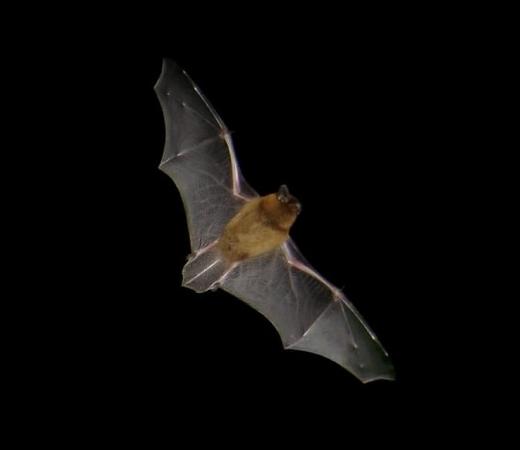 Chauve souris en plein vol nocturne