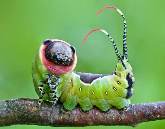 Chenille de la grande queue-fourchue (Cerura vinula)