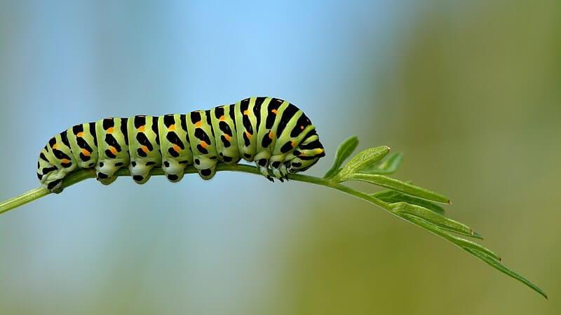 Chenille du Machaon (Papilio machaon)