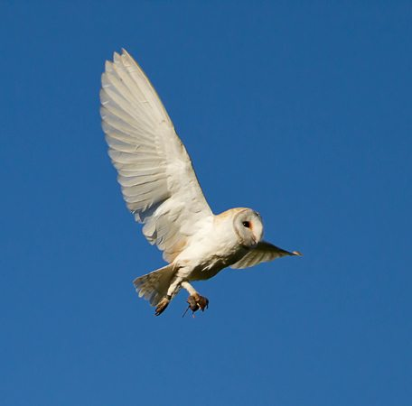 Chouette effraie en plein vol et en retour de chasse.