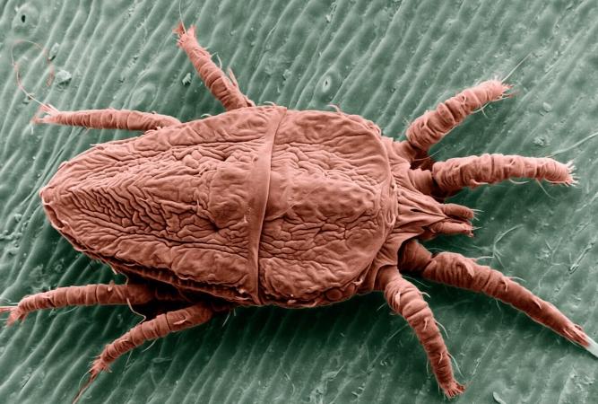 Cliché microscope d'un autre acarien: Brevipalpus phoenicis