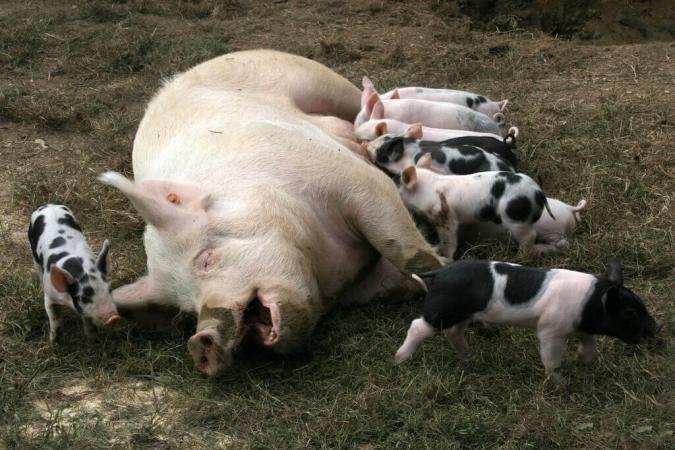 Ce cochon est content, au moins autant que nous !
