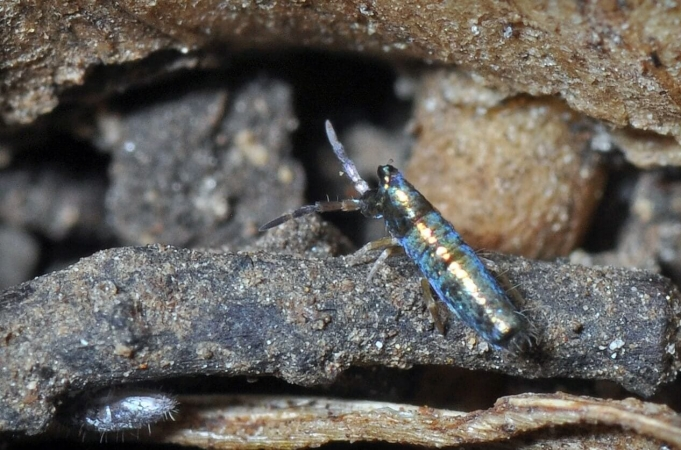 Collembole, Lepidocyrtus paradoxus