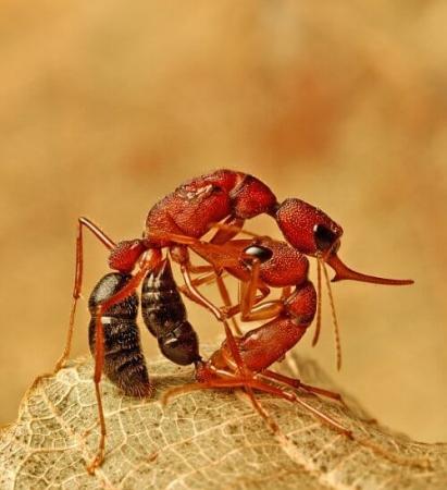 Combat de fourmis Harpegnathos saltator
