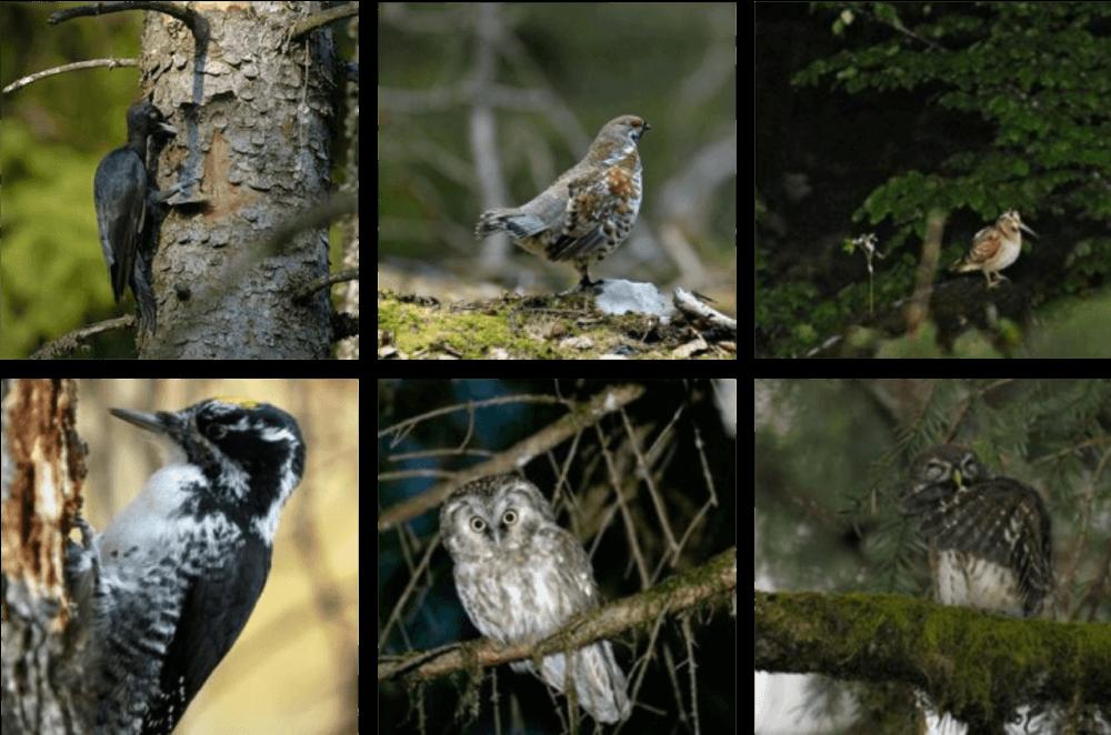 Cortège d'espèces favorisé par l'amélioration de l'habitat du Grand Tétras