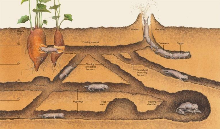 Coupe et organisation d'un terrier de colonie de rat-taupe nu