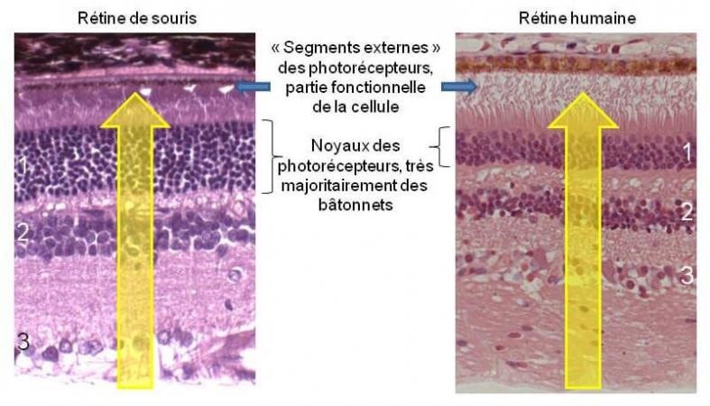Coupes histologiques de rétine de souris (gauche) et rétine humaine (droite)