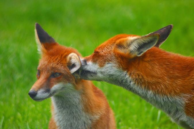 Couple de renard roux
