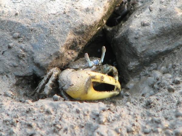Crabe violoniste dans son trou