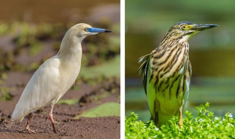 Crabier blanc en plumage nuptial à gauche et internuptial à droite