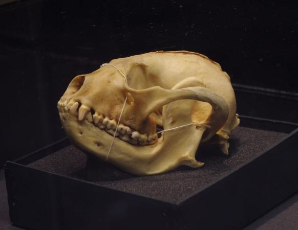 Crâne de panda roux