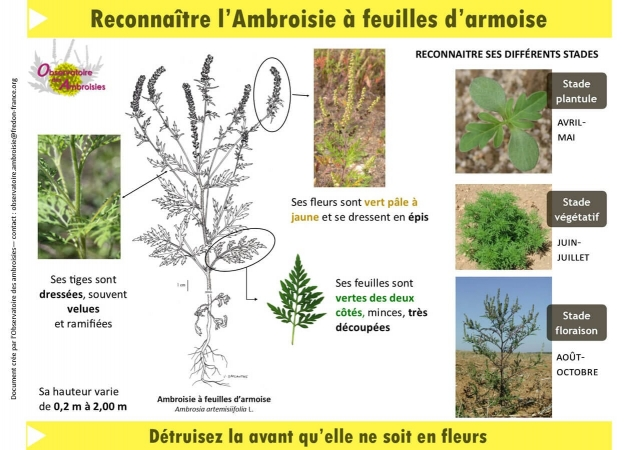 Critères de reconnaissance de l'Ambroisie à feuilles d'armoise