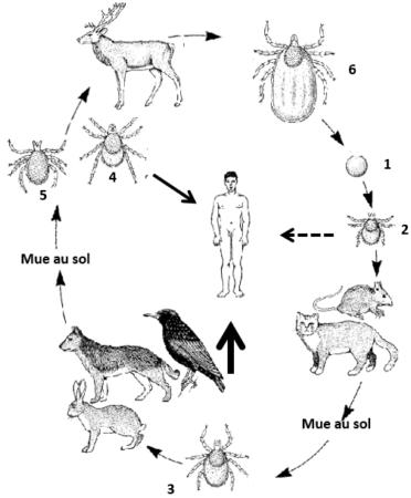 Le cycle de vie d'une tique dure triphasique, télotrope (ex. Ixodes ricinus)