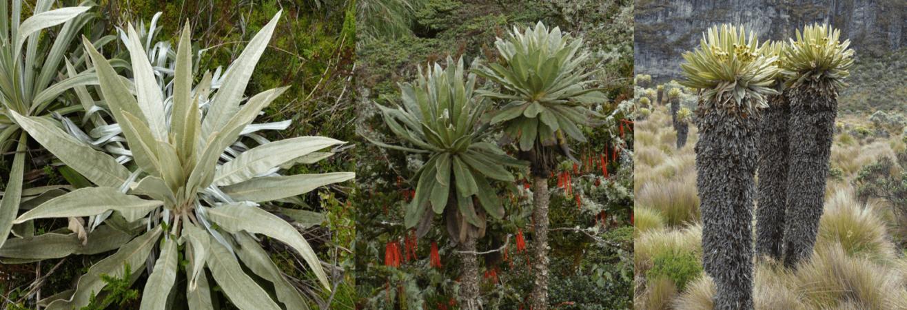 De gauche à droite: Espeletia argentea, Espeletia uribei, Espeletia hartwegiana