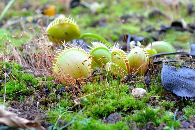 Dionaea muscipula photographié en serre
