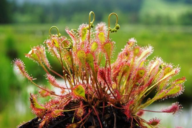 Droséra à feuilles ovales (Drosera x obovata)