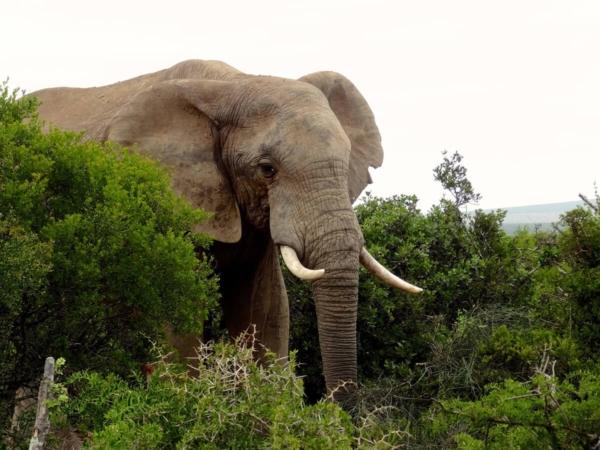 Éléphant en pleine végétation typique du parc Addo