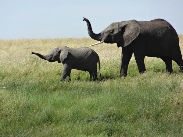 Éléphanteau et sa mère
