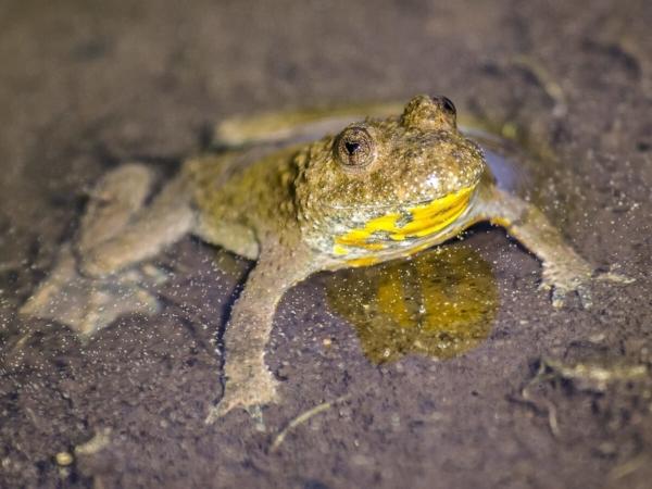 En danger tu seras protégé, sinon, il faudra te débrouiller - Sonneur à ventre jaune (Bombina variegata)