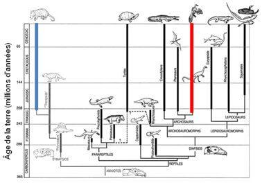 Évolution parallèle des mammifères et des reptiles. L'apparition des mammifères (colonne bleue) date d'environ 230 million d'années, les dinosaures (et les oiseaux) (colonne rouge) légèrement avant.