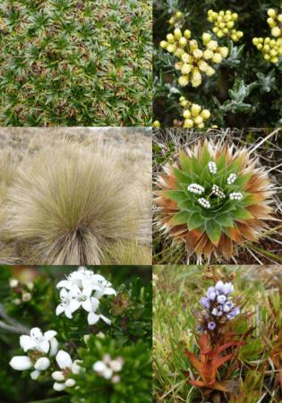 Exemples d'espèces du páramo. Du haut à gauche en bas à droite: Plantago rigida, Pentacalia vernicosa, Calamagrostis recta, Paepalanthus alpinus, Aragao abietina,Lupinus colombiensis