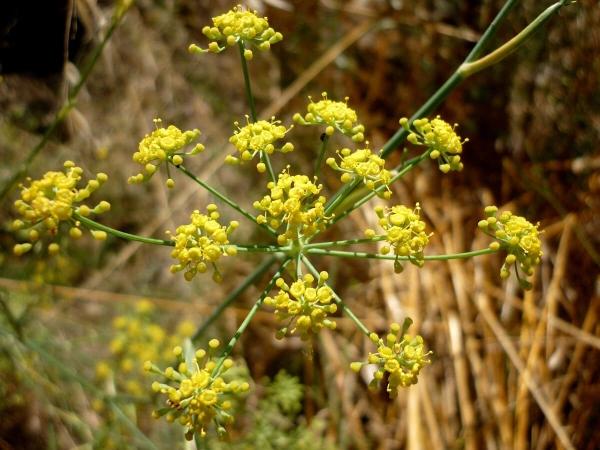 Fenouil (Fœniculum vulgare)