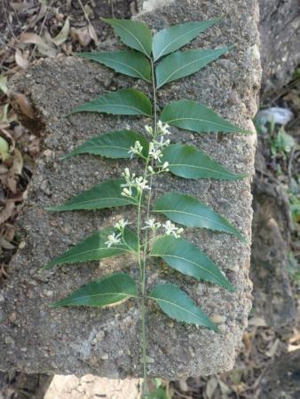 Feuilles et pétiole de neem
