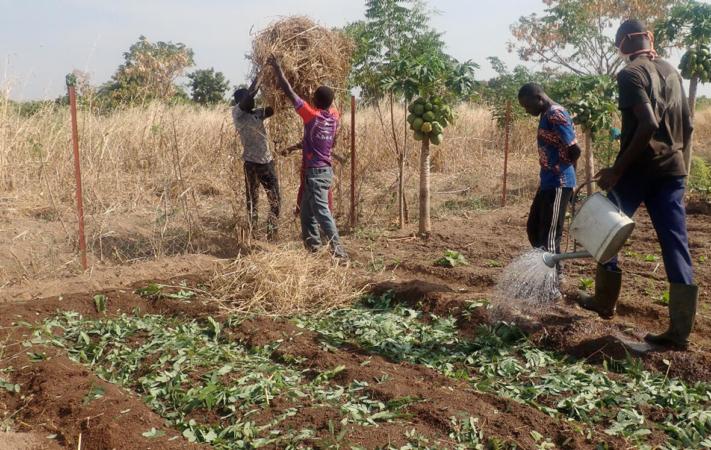 Finalisation d'incorporation de feuilles de neem en culture