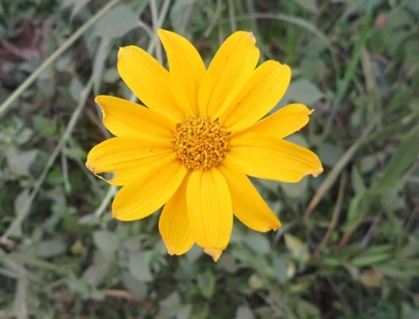 Fleur de Tithonia diversifolia