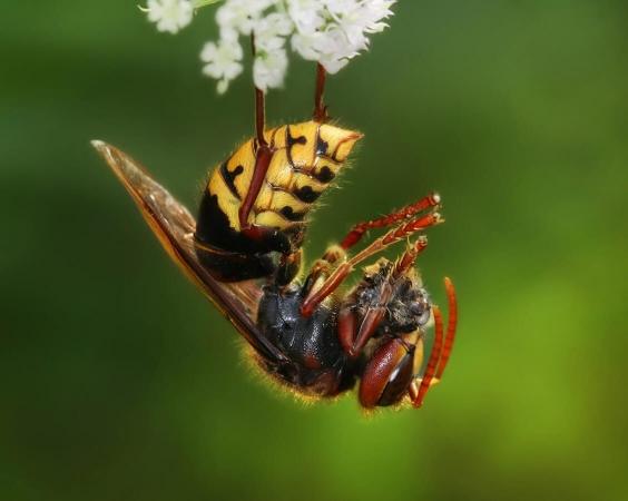 Frelon européen en train de dévorer les reste d'une abeille domestique