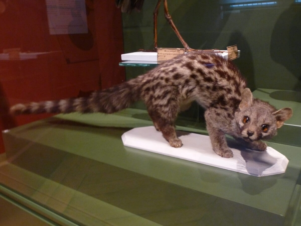 Genette commune naturalisée présentée au Musée de Cluny aux côtés de La dame à à la licorne.