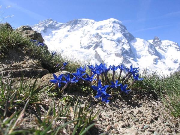 Gentianne (Gentiana brachyphylla) prise sur arrière plan de Breithorn dans les Alpes suisses