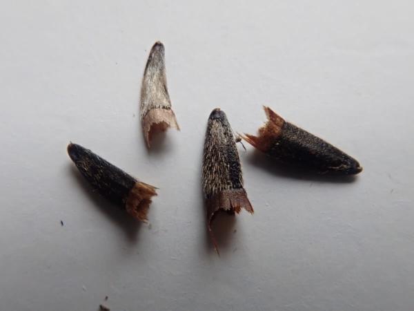 Graines de Tithonia diversifolia