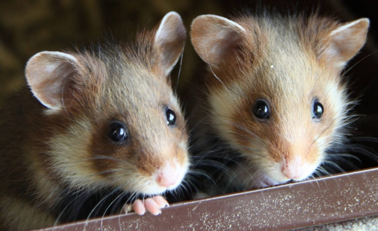 Grand hamster d'alsace (Cricetus cricetus) juvéniles